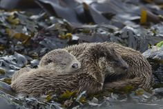 Otters sleep peacefully in the Shetland Islands, Scotland
