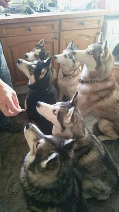 Tania Poole's AWESOME Siberian #Husky pack of beauties!! #siberianhusky