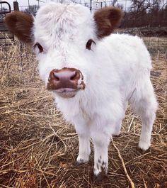 Cute Baby Cow, Baby Animals Super Cute, Cute Cows, Cute Little Animals, Cute Funny Animals, Cow Pictures, Baby Animals Pictures, Cute Animal Pictures, Baby Farm Animals