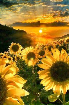 Sunflower at Sunset Sunflower Pictures, Sunflower Art, Sunflower Fields, Sunflowers And Daisies, Sun Flowers, Growing Sunflowers, Exotic Flowers, Wild Flowers, Sunflower Wallpaper
