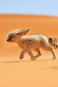 """Fennec the Soul of the Desert. Photography by @ (Francisco Mingorance). """"The fennec, or desert fox is a canine mammal species of the genus Vulpes, which inhabits the Sahara Desert and Arabia. Cute Little Animals, Cute Funny Animals, Nature Animals, Animals And Pets, Desert Animals, Photos Of Animals, Wild Animals, Friendly Fox, Concours Photo"""