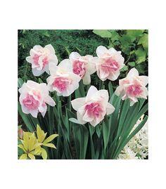 Narcis Replete - prodej cibulovin - narcisy - 3 ks