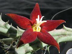Asclepiadacitisagudisima: piaranthus