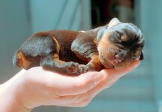 A 3 day old Rottweiler puppy ❤️