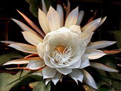 stunning Queen of the Night, Epiphyllum oxypetalum, 曇花 by AlfredSin, via Flickr....