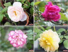 悠遊山城Rose