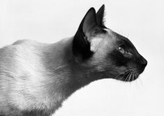 Siamese - everything else is just a cat!