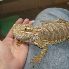 Bearded Dragon Fall Injuries. Bearded dragon fall injuries are quite common and usually result from falling from a significant height. Bearded dragons can fall after climbing or being handled by owners. http://www.beardeddragons.co.za/bearded-dragon-fall-injuries/