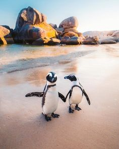 Meet PENGUINS in SOUTH AFRICA! These African penguins are only found on the coastlines of Southern Africa. These penguins are currently on the verge of extinction and are under the protection of the Cape Nature Conservation. Photo by Emmett Sparling ( Cute Baby Animals, Animals And Pets, Funny Animals, Fauna Marina, African Penguin, Boulder Beach, Cute Penguins, Tier Fotos, Africa Travel