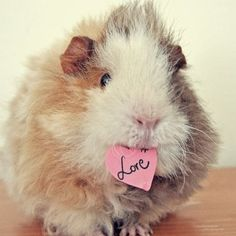 cute+pigs | Guinea Pig Pictures | Cute animal pictures and videos blog
