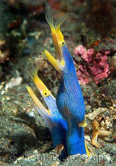 Blue Ribbon Eel - Rhinomuraena quaesita taken by David Cropp Beautiful Sea Creatures, Deep Sea Creatures, Underwater Creatures, Underwater Life, Beneath The Sea, Under The Sea, Fauna Marina, Salt Water Fish, Water Animals