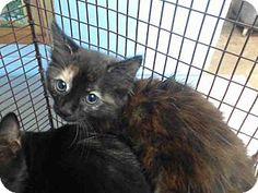 Super Cute Cats, Cute Cats And Dogs, San Bernardino California, Tortoiseshell Cat, Animal Rescue, Pet Adoption, Dog Cat, Kittens, Meet