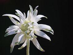 Flanel flower (an Australian native)., via Flickr.