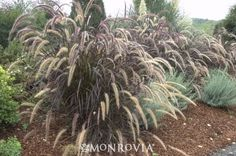 Dwarf Purple Fountain Grass; Full sun; occasional watering; Fast growth 2½ to 3 ft. tall and as wide.