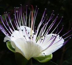 Capparis spinosa, the caper bush, also called Flinders rose is a perennial winter-deciduous plant that bears rounded fleshy leaves and large white to pink-white flowers. The plant is best known for the edible flower buds (capers) often used as a seasoning and the fruit (caper berry) both of which are usually consumed pickled. Other species of Capparis are picked along with C. spinosa for their buds or fruits. Other parts of Capparis plants are used in the manufacture of medicines and…