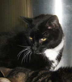 Ace is just one big hunka hunka burning love.  He came into the shelter with five other cats.  He currently shares his cage with Sweet Mae.  Ace is about 7 years old.  Some people may say that is old but we say he is 7 years young.  And besides with...