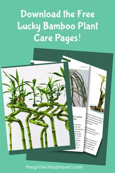Want to know EXACTLY what your lucky bamboo plant wants?! Then download the free Dracaena care pages, which will tell you exactly what this plant needs and wants from you! Bamboo Plant Care, Lucky Bamboo Plants, House Plants Decor, Plant Decor, All About Plants, Bedroom Plants, Plant Needs, Indoor Plants, Diy Design