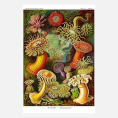 "Sea Anemone by Adam's Ale Art - This vintage-style print was reproduced from Ernst Haeckel's Kunstformen der Natur. Unframed. Paper is 12"" wide x 17"" high. Art measures 12"" wide x 16"" high. Matte finish. Material: Expressions 100/100 weight cardstock and pigment. Print type: digital. ($21/$24 retail price)"