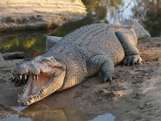 'Like a crocodile drum band': Researchers discover peculiar croc vocalisation — ABC News Crocodile Pictures, Best New Movies, Department Of Environment, Drum Band, Saltwater Crocodile, Airlie Beach, Reptiles And Amphibians, Zoo Animals, Wild Animals