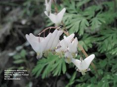 Dutchman's Breeches- Dicentra cucullaria.