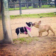 """""""Eeewwwwwww""""!!  I said I Don't Like You Like That""""!!  Sweet French Bulldog Kisses."""