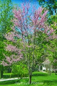 Pansy Redbud - Colorful trees. ~~ http://jaykaysphotos.ca