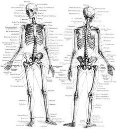 пластическая анатомия кости человека: 11 тыс изображений найдено в Яндекс.Картинках
