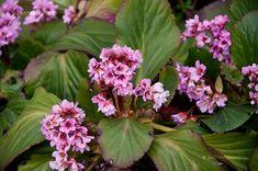 Astilbe, Plants, Gardening, Minden, Bob, Gardens, Flowers, Lawn And Garden, Bob Cuts