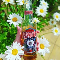 This isn't an ad but I feel like it looks like one for @desperados  I just love the stuff and have especially been enjoying it in this hot weather!  I also wanted to show how nicely my plants have bloomed! (Leucanthemum I think?!) What's your favourite summer tipple? . [Image description: hand holding a bottle of Desperado in front of a plant with blooms like large daisies]. . . . . . . #summer #hotweather #hotweather #heatwave #desperados #desperadosbeer #lager #summerdrinks #cheers…