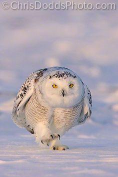Snowy Owl - His Brisk Morning Walk