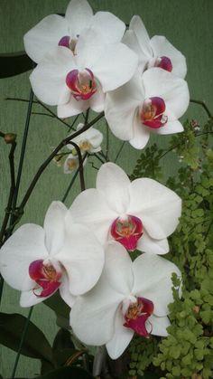 Orquídea#Do meu Jardim!