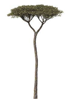 Tree - Pinius Pinea