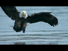EAGLE CATCHES SALMON---AWESOME VIDEO