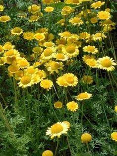 Anthemis tinctoria - Gele kamille