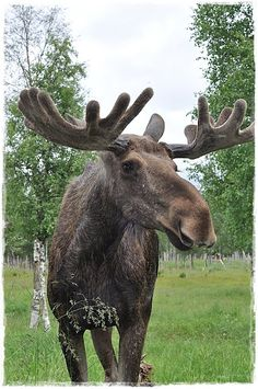 DONE - Pet a Moose  Can't imagine how long their legs are until you are up close and personal.  Wow did it smell!