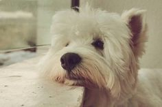 Let me be the great person my Westie thinks I am.
