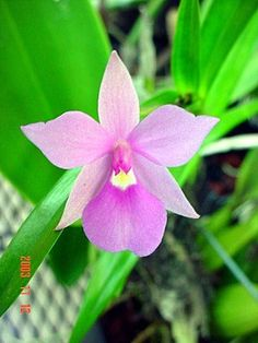There is much discussion that all Dimerandra species are this one. Description from orchidspecies.com. I searched for this on bing.com/images