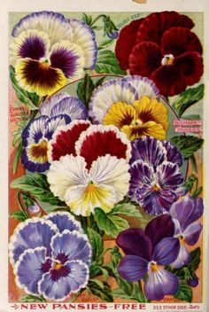 Illustrated page of pansies ( Ruby Red, Empress Augusta Victoria, Fairy Queen, Papilio, Bismark Pansies) from 'Childs' Rare Flowers, Vegetables and Fruits' 1900 (25th anniversary).