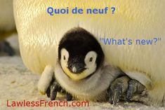 """Rather than say """"comment ça va"""", a French friend approaches you and asks, """"quoi de neuf""""? Do you know how to respond? In this kind of exchange, """"ça va bien"""" doesn't cut it. If you have news, share it. But if nothing new is happening in your world, answer with one of these classic responses. #learnfrench #frenchexpressions #lawlessfrench French Expressions, Cute Baby Penguin, Cute Baby Animals, Polar Animals, Penguin Craft, Where Do Penguins Live, Emperor Penguin, Young Animal, Sea World"""