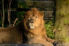 Aziatische leeuw - Panthera leo persica - Asiatic lion | by MrTDiddy
