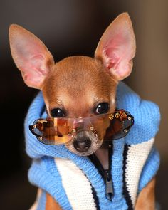 30 Cutest Chihuahua Dogs Love to Use Humans Stuff Chihuahua Breeds, Chihuahua Puppies, Cute Puppies, Cute Dogs, Cute Baby Animals, Funny Animals, Cutest Dog Ever, Baby Dogs, Doggies
