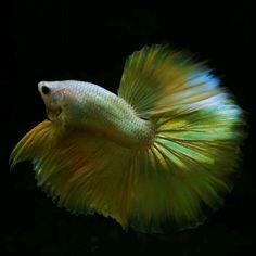 Gold dragon Gold Dragon, Betta, Fish, Animals, Beautiful, Animales, Animaux, Pisces, Betta Fish