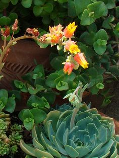 Echeveria secunda flowering