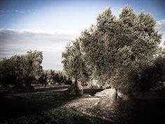 """""""L'olivo quanto più ciondola, più unge"""" [Proverbio toscano] #Laudemio #olio #oliveoil #EVOO"""