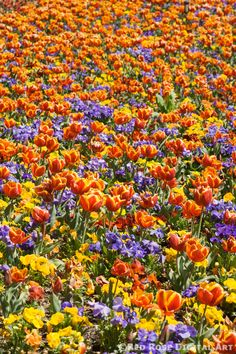 Tulip Carpet - Massed red and yellow tulips