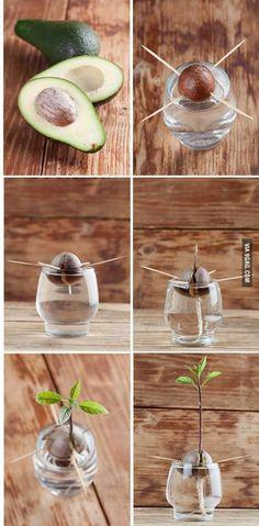 How To Grow An Avocado Tree