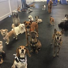 Few of our small dogs from earlier today. #Fitdog #fitdogsportsclub #terriermix #beagle #poodle #dogs #doggydaycare #Thursday
