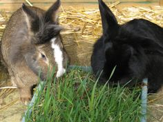 "Great site for ways to feed rabbits closer to ""wild"" food. They grow grass- usually use wild weed seeds to mimic their wild diet- clover, dandelion, timothy, etc. I still like the tractor idea... could put grass trays on top of tractor and cut and drop into pen...?"