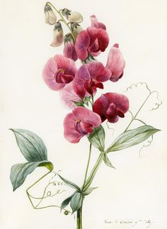 Lathyrus latifolius (everlasting pea), watercolour on paper by Louise D'Orleans,  1829.