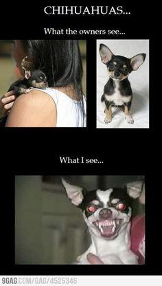 HAHAHA this is so my chihuahua!! lol